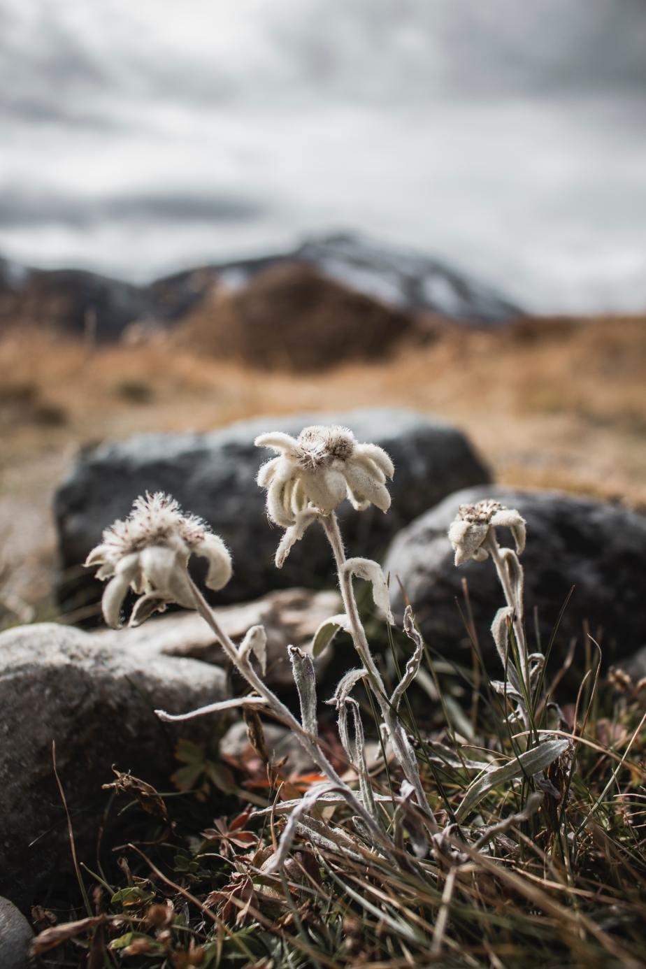 Fiore di roccia(Tuti)